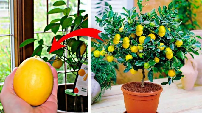 How To Grow An Endless Supply Of Lemons In Your Home